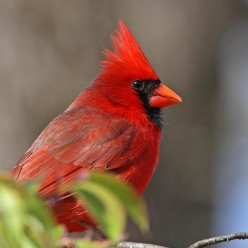 Northern Cardinal - Jan Partin